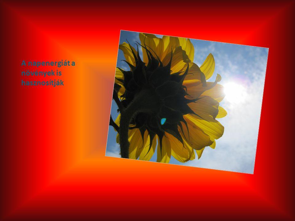 A napenergiát a növények is hasznosítják