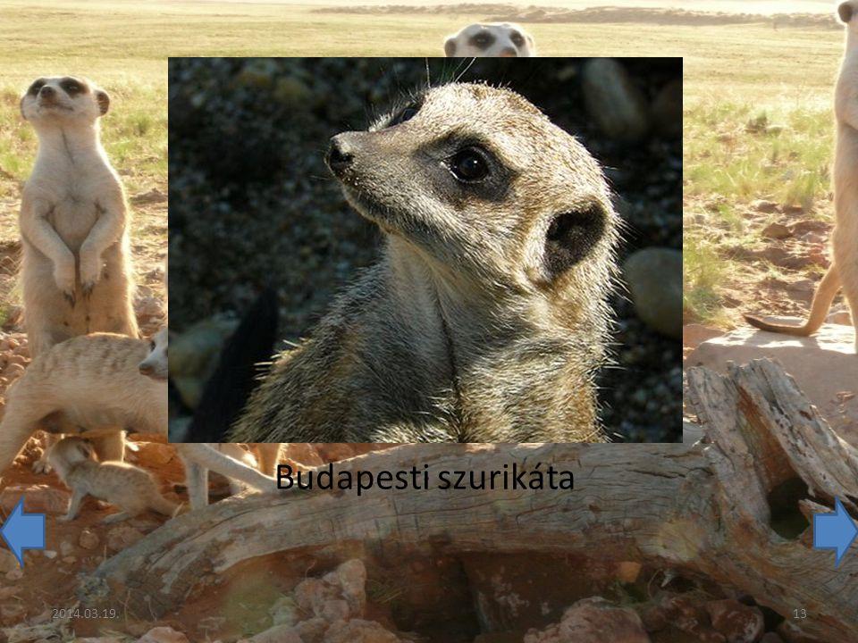 Budapesti szurikáta 2014.03.19.