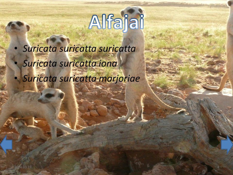 Alfajai Suricata suricatta suricatta Suricata suricatta iona