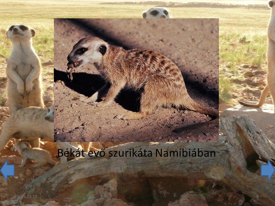 Békát evő szurikáta Namíbiában