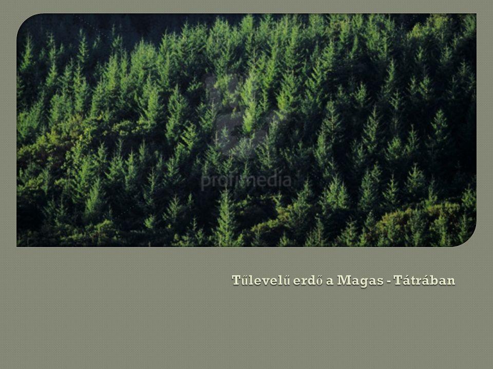 Tűlevelű erdő a Magas - Tátrában