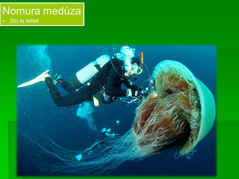 Nomura medúza 2m is lehet