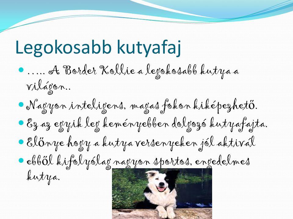 Legokosabb kutyafaj ….. A Border Kollie a legokosabb kutya a világon..