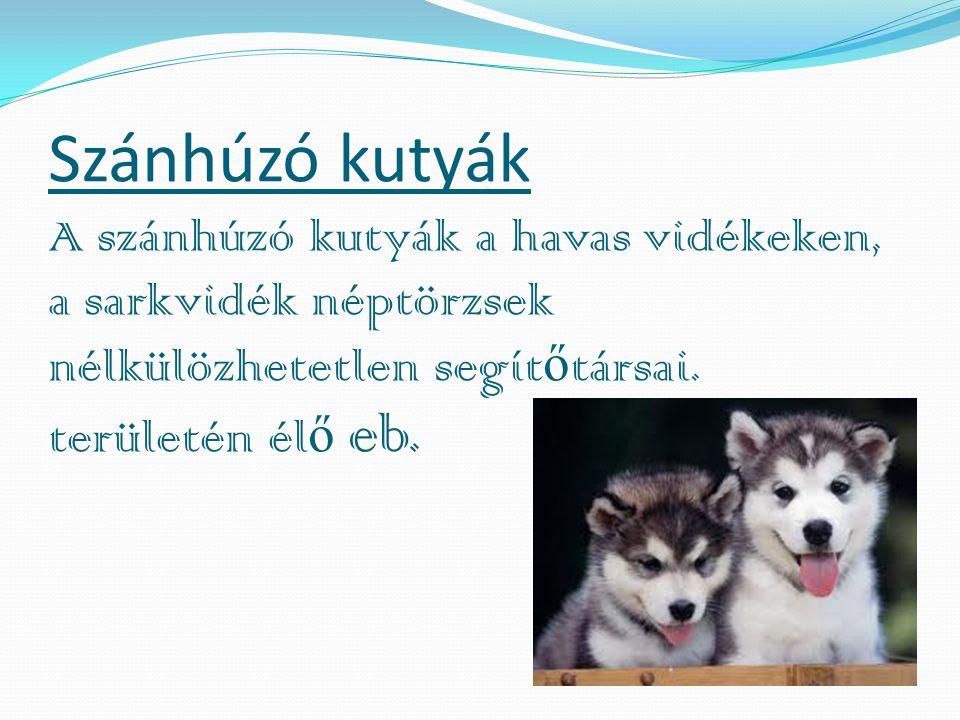 Szánhúzó kutyák A szánhúzó kutyák a havas vidékeken, a sarkvidék néptörzsek nélkülözhetetlen segítőtársai.