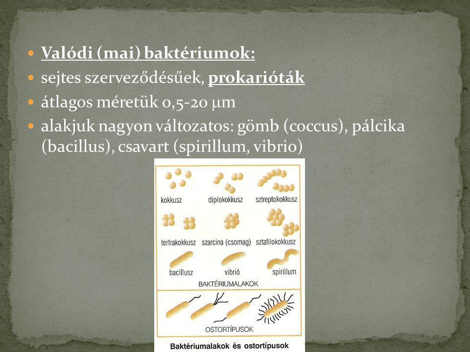 Valódi (mai) baktériumok: