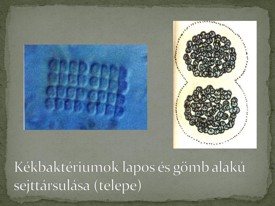 Kékbaktériumok lapos és gömb alakú sejttársulása (telepe)