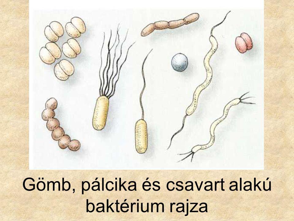 Gömb, pálcika és csavart alakú baktérium rajza