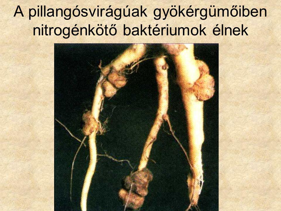 A pillangósvirágúak gyökérgümőiben nitrogénkötő baktériumok élnek