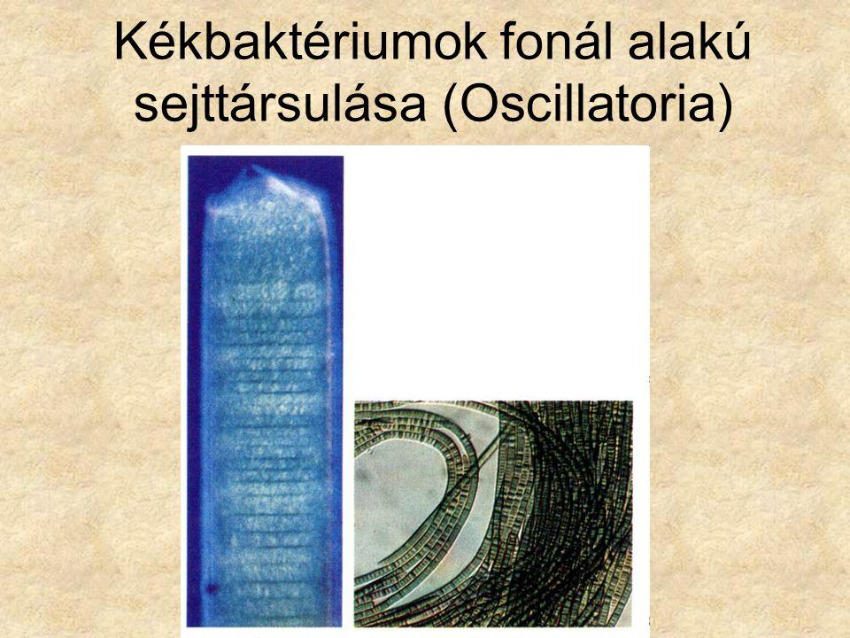 Kékbaktériumok fonál alakú sejttársulása (Oscillatoria)