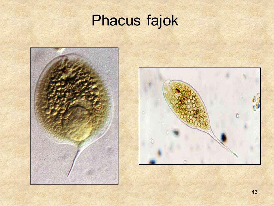 Phacus fajok