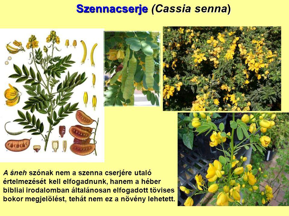 Szennacserje (Cassia senna)