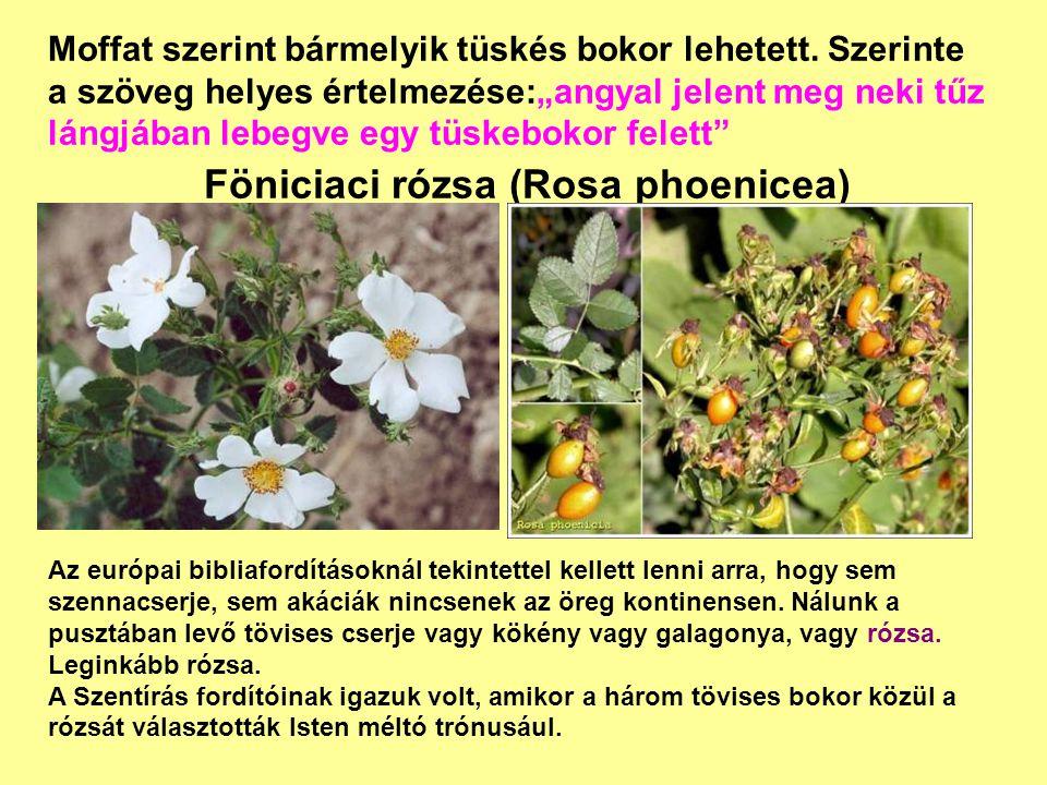 Föniciaci rózsa (Rosa phoenicea)