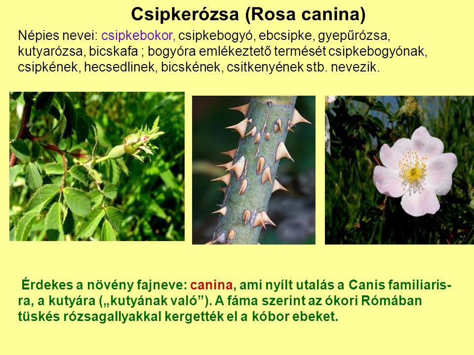 Csipkerózsa (Rosa canina)