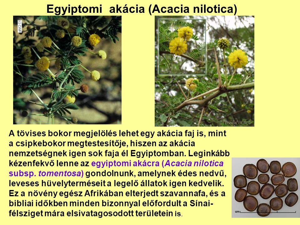 Egyiptomi akácia (Acacia nilotica)
