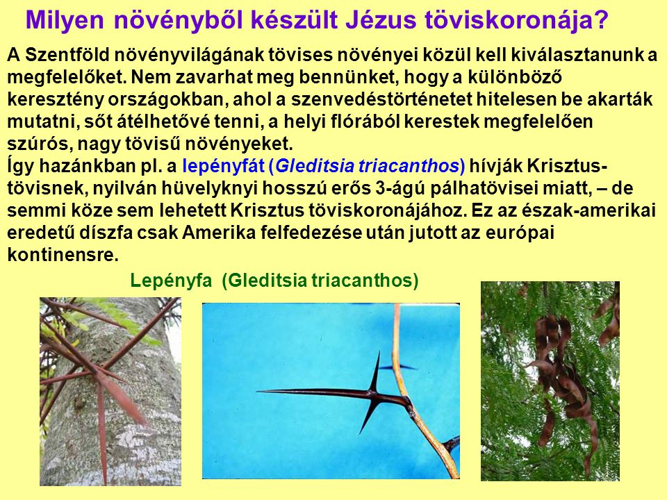 Milyen növényből készült Jézus töviskoronája