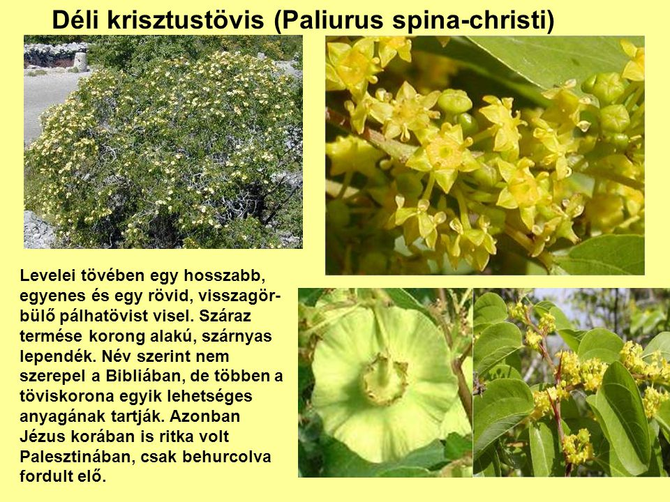 Déli krisztustövis (Paliurus spina-christi)