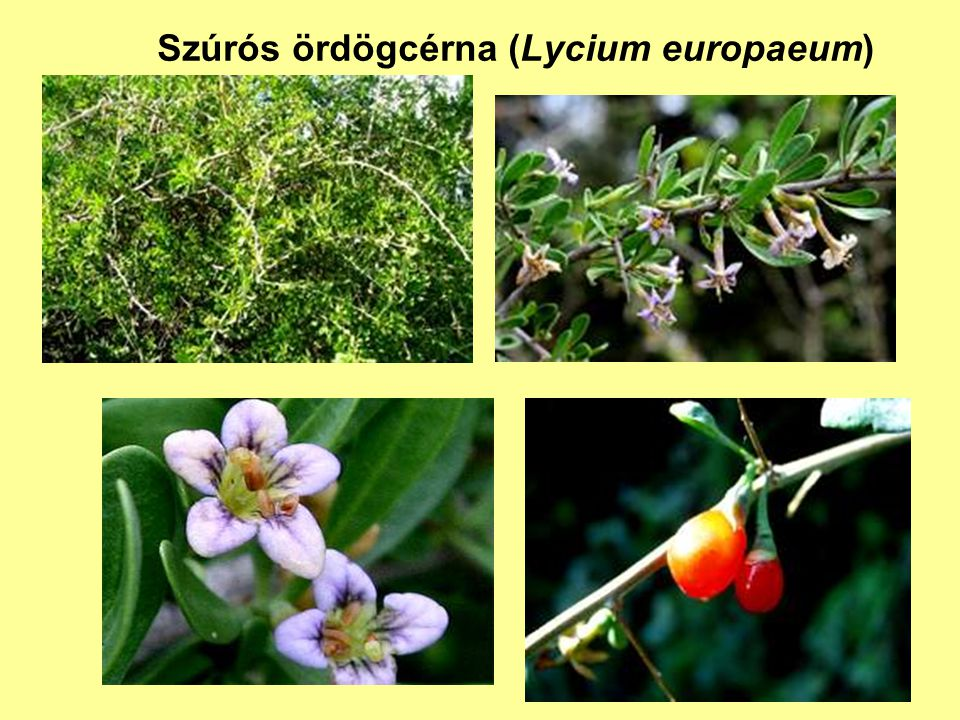 Szúrós ördögcérna (Lycium europaeum)