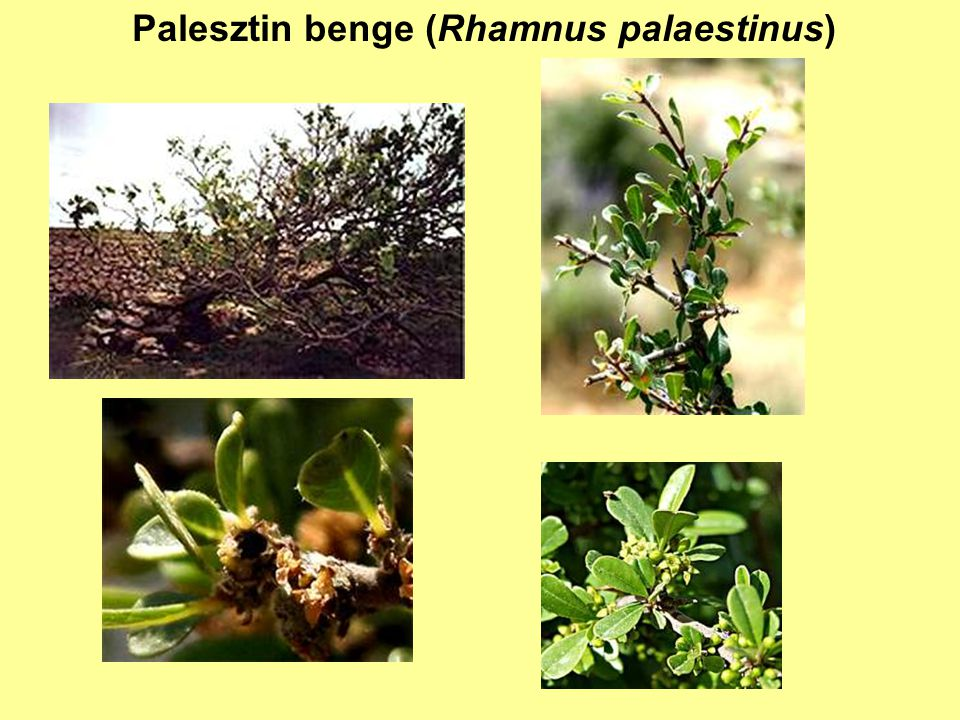 Palesztin benge (Rhamnus palaestinus)