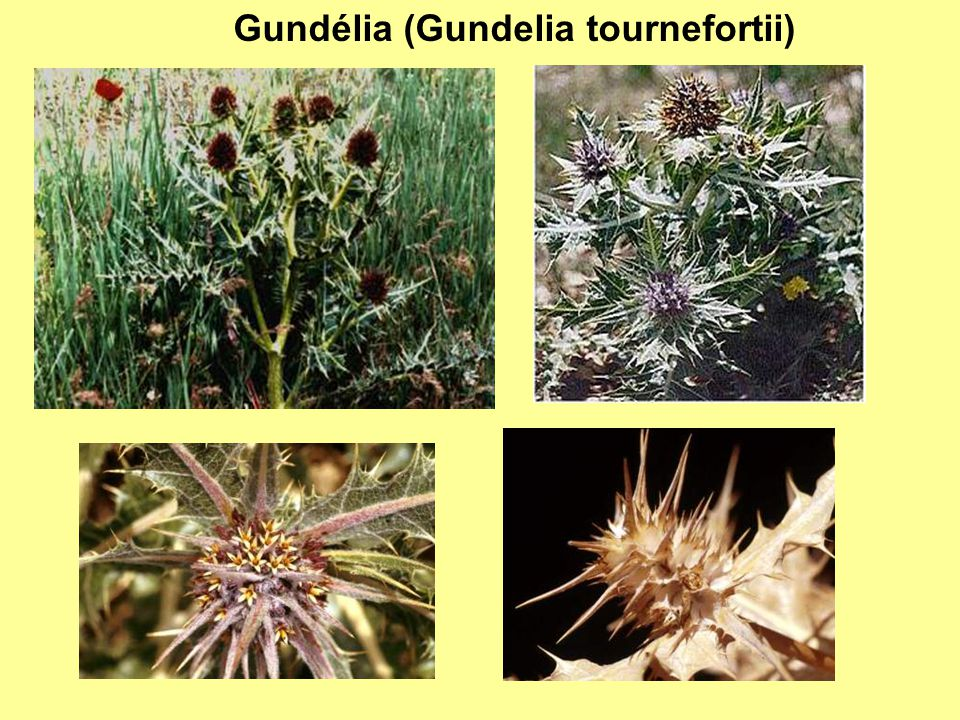 Gundélia (Gundelia tournefortii)