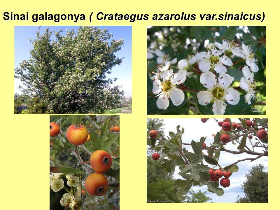 Sinai galagonya ( Crataegus azarolus var.sinaicus)
