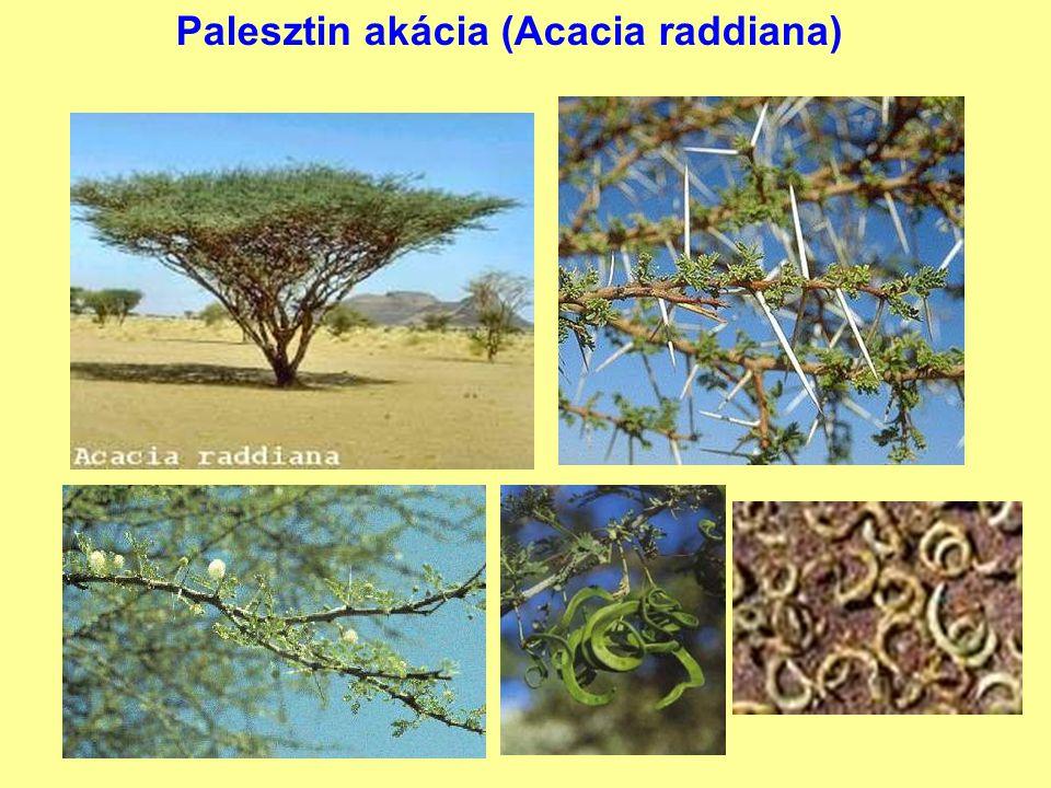 Palesztin akácia (Acacia raddiana)