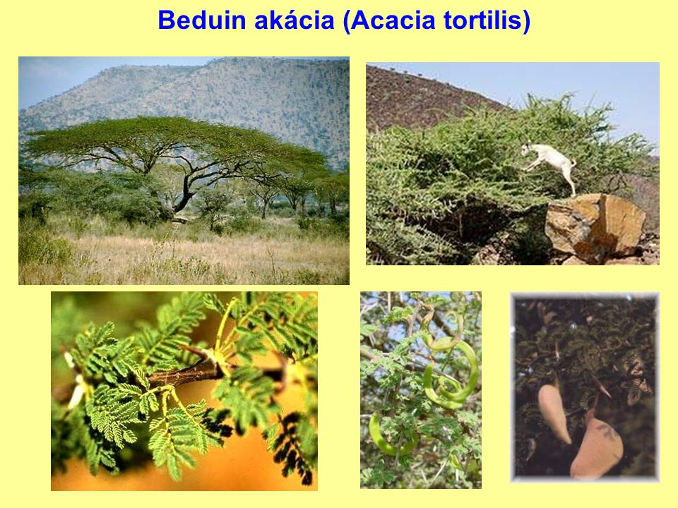 Beduin akácia (Acacia tortilis)
