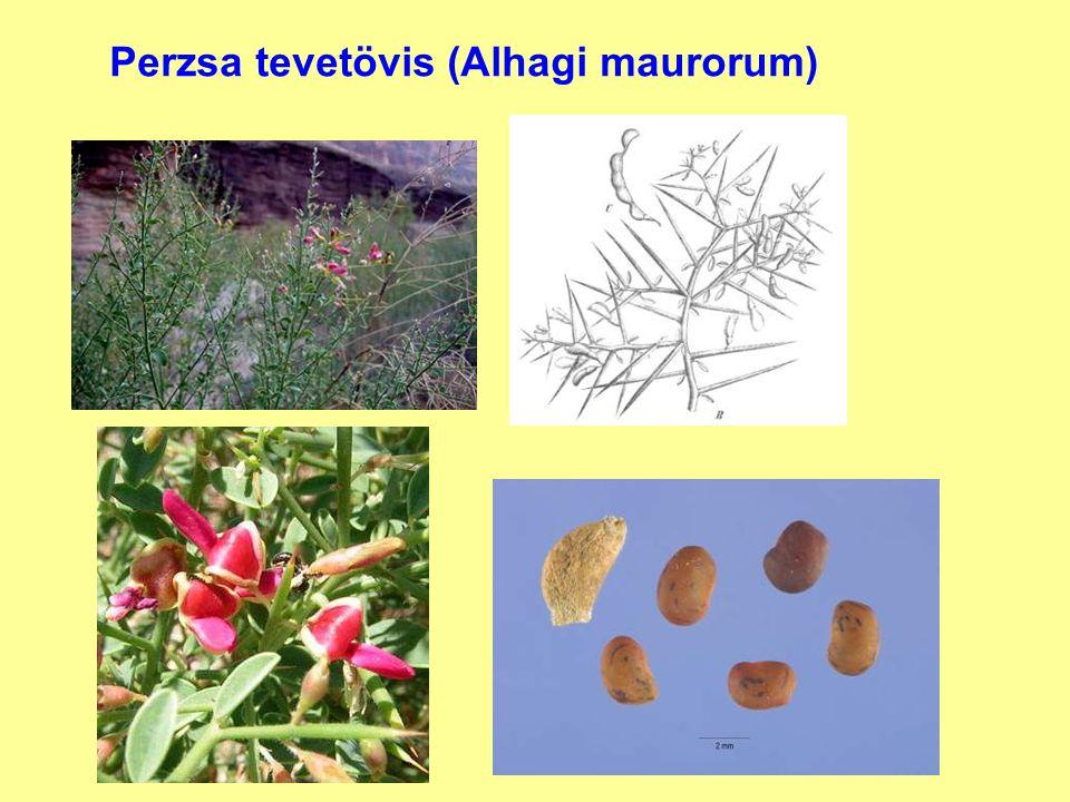 Perzsa tevetövis (Alhagi maurorum)