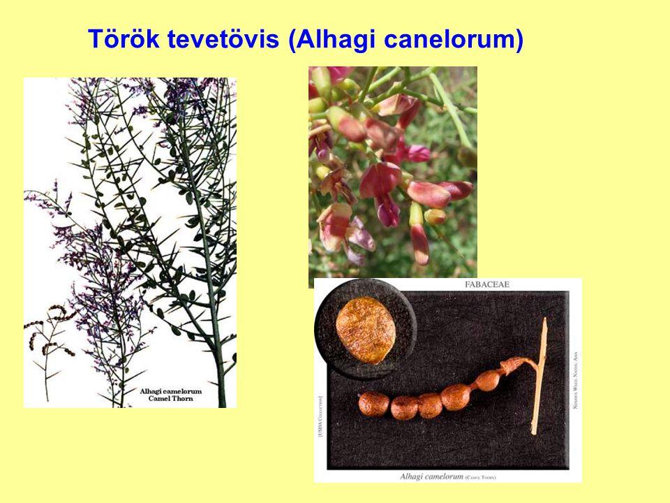 Török tevetövis (Alhagi canelorum)