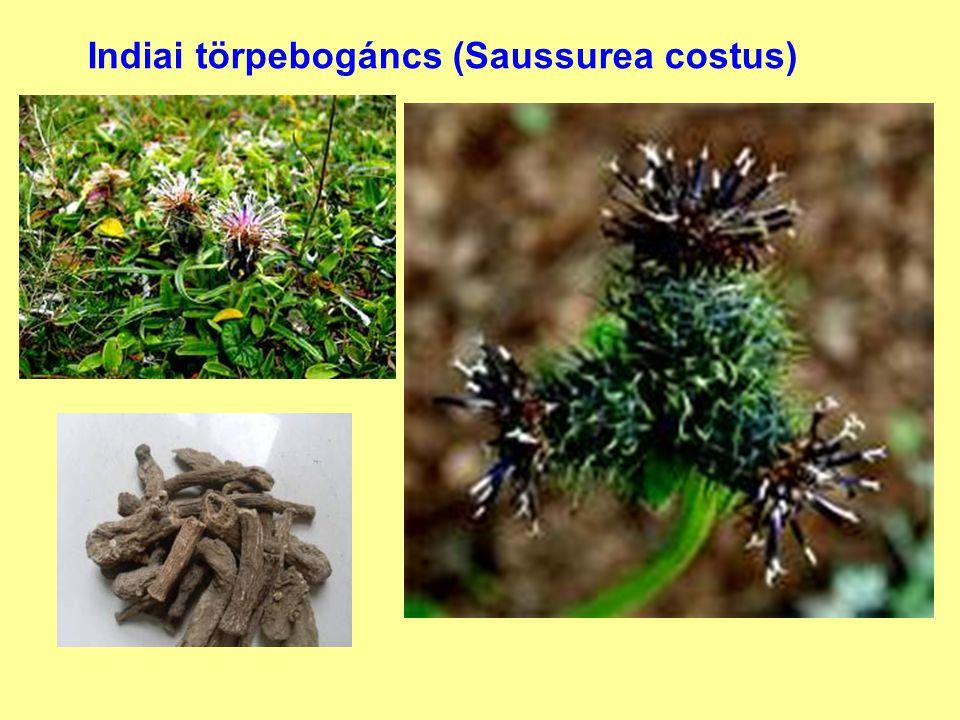 Indiai törpebogáncs (Saussurea costus)