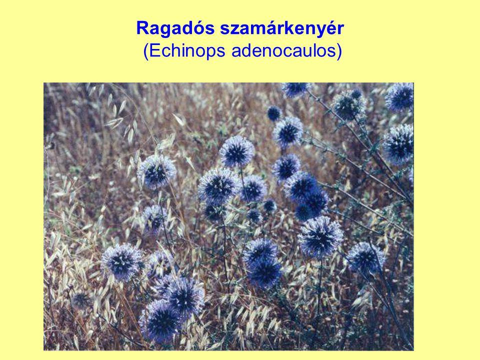 Ragadós szamárkenyér (Echinops adenocaulos)