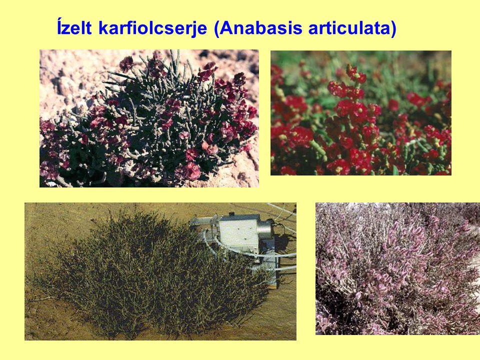 Ízelt karfiolcserje (Anabasis articulata)