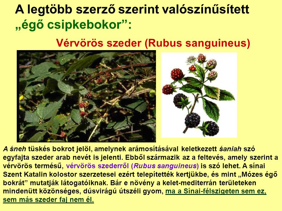 Vérvörös szeder (Rubus sanguineus)