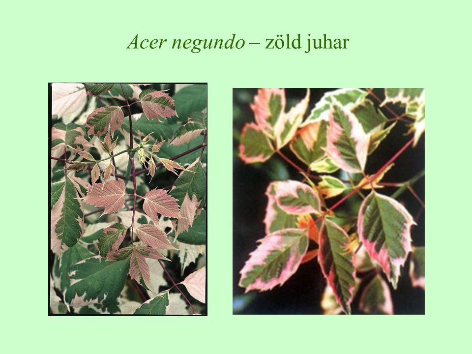 Acer negundo – zöld juhar