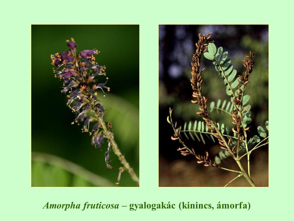 Amorpha fruticosa – gyalogakác (kinincs, ámorfa)