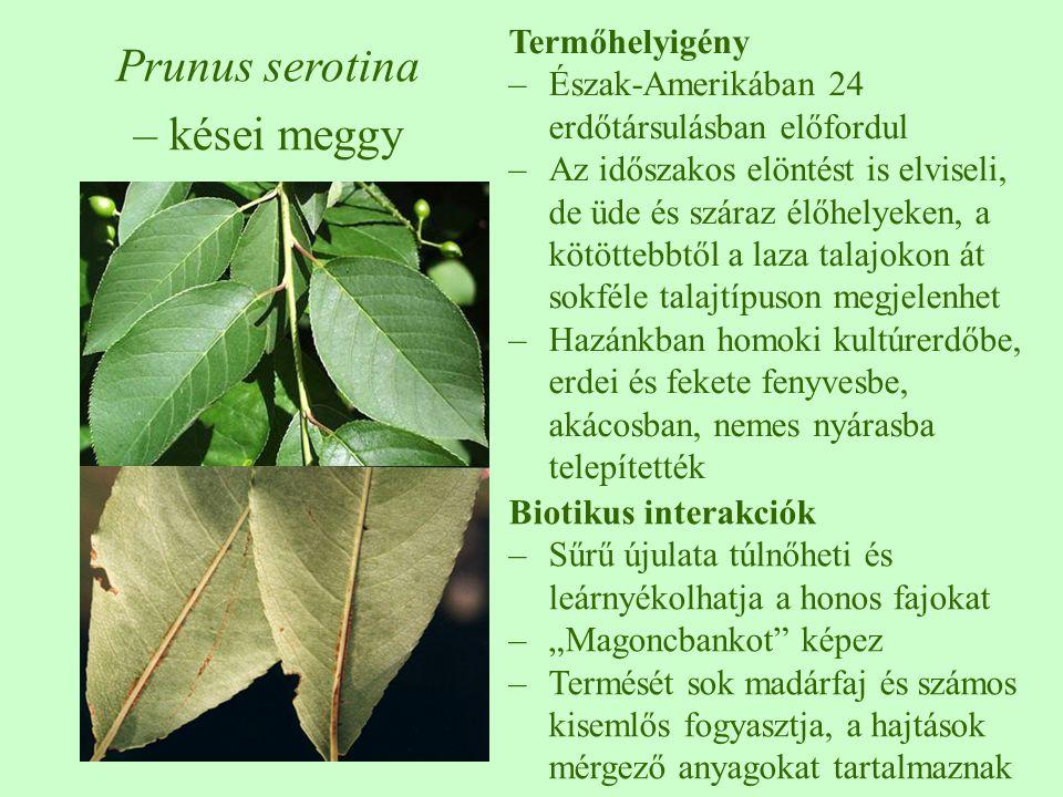 Prunus serotina – kései meggy Termőhelyigény