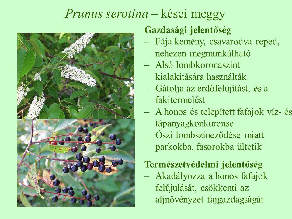 Prunus serotina – kései meggy