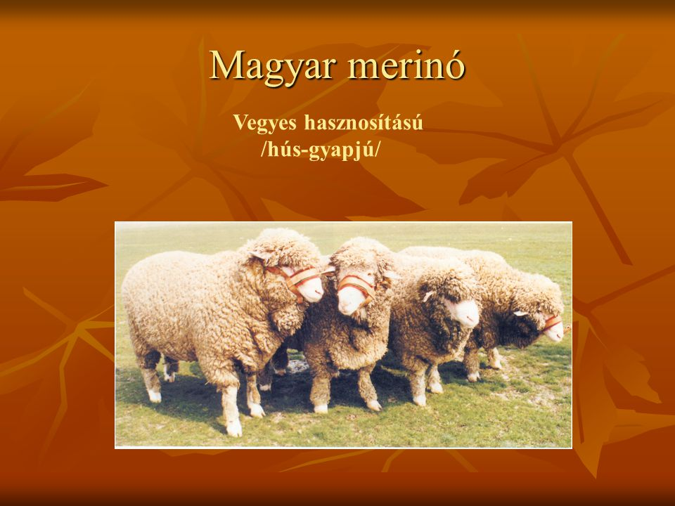 Magyar merinó Vegyes hasznosítású /hús-gyapjú/