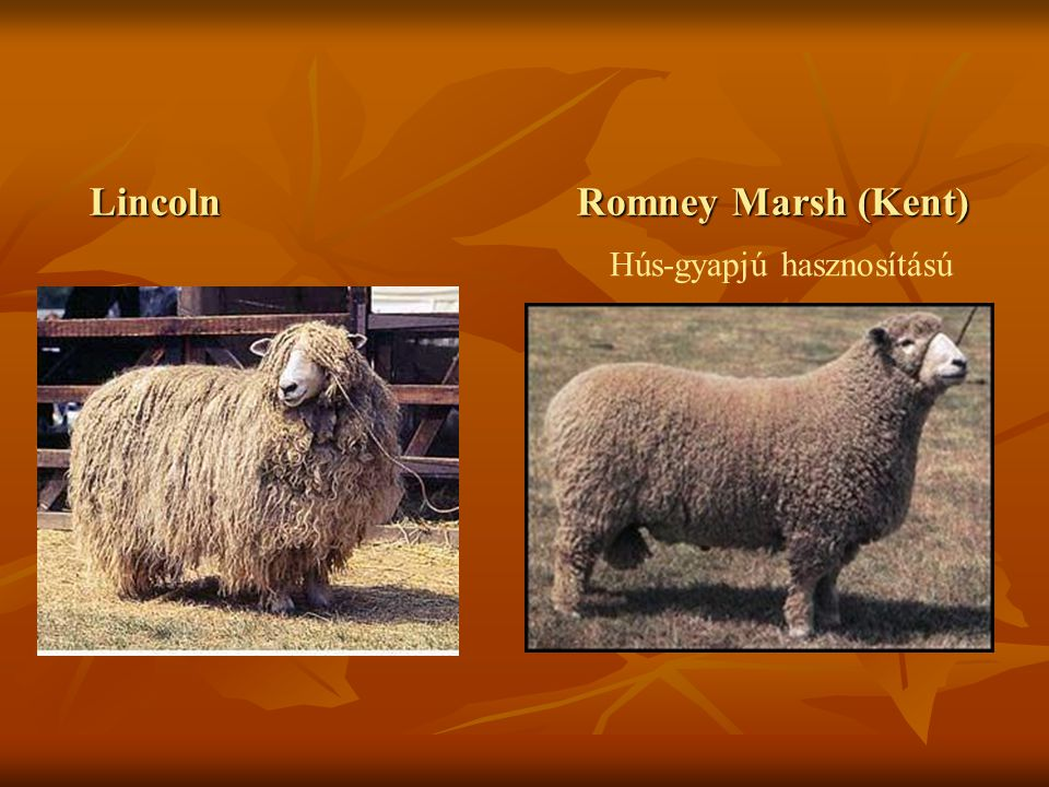 Lincoln Romney Marsh (Kent) Hús-gyapjú hasznosítású