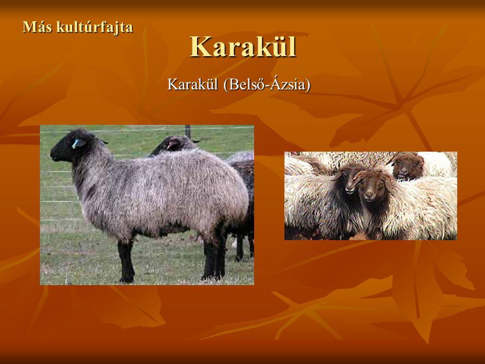 Más kultúrfajta Karakül Karakül (Belső-Ázsia)