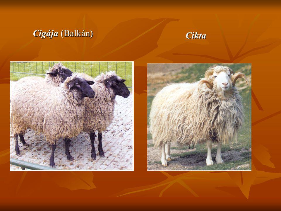 Cigája (Balkán) Cikta