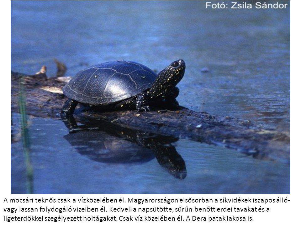 A mocsári teknős csak a vízközelében él