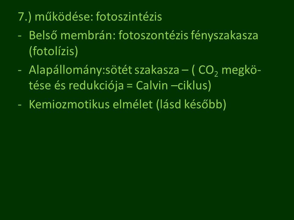 7.) működése: fotoszintézis