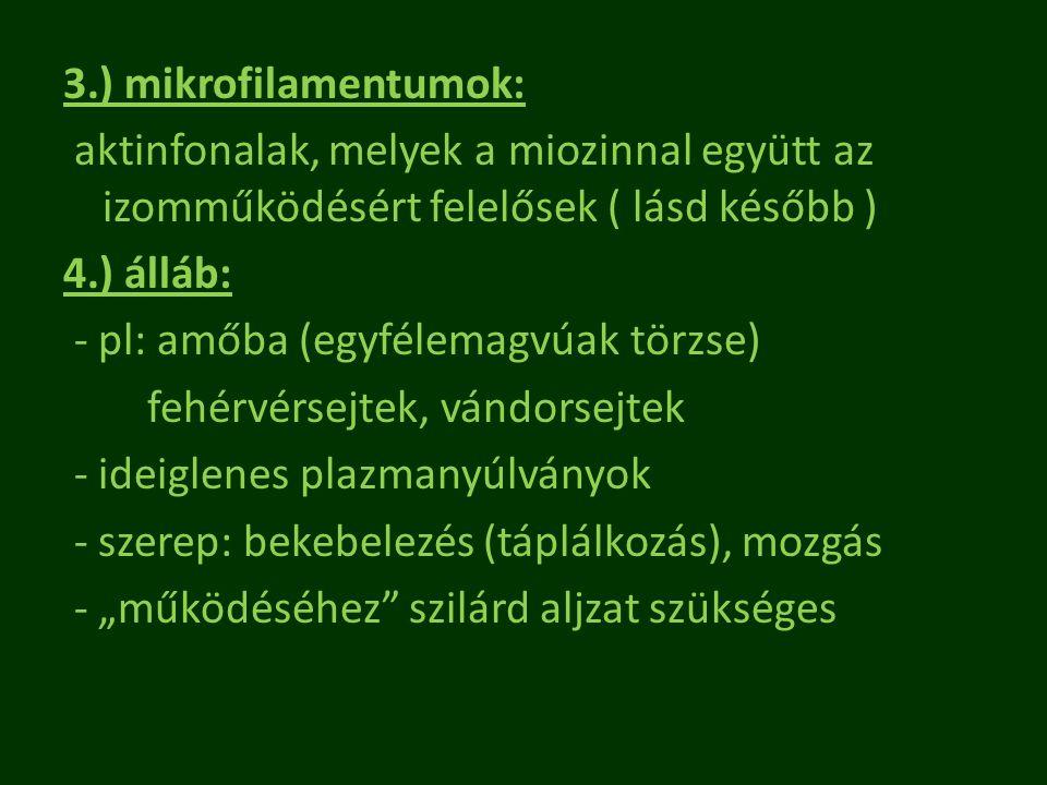 """3.) mikrofilamentumok: aktinfonalak, melyek a miozinnal együtt az izomműködésért felelősek ( lásd később ) 4.) álláb: - pl: amőba (egyfélemagvúak törzse) fehérvérsejtek, vándorsejtek - ideiglenes plazmanyúlványok - szerep: bekebelezés (táplálkozás), mozgás - """"működéséhez szilárd aljzat szükséges"""