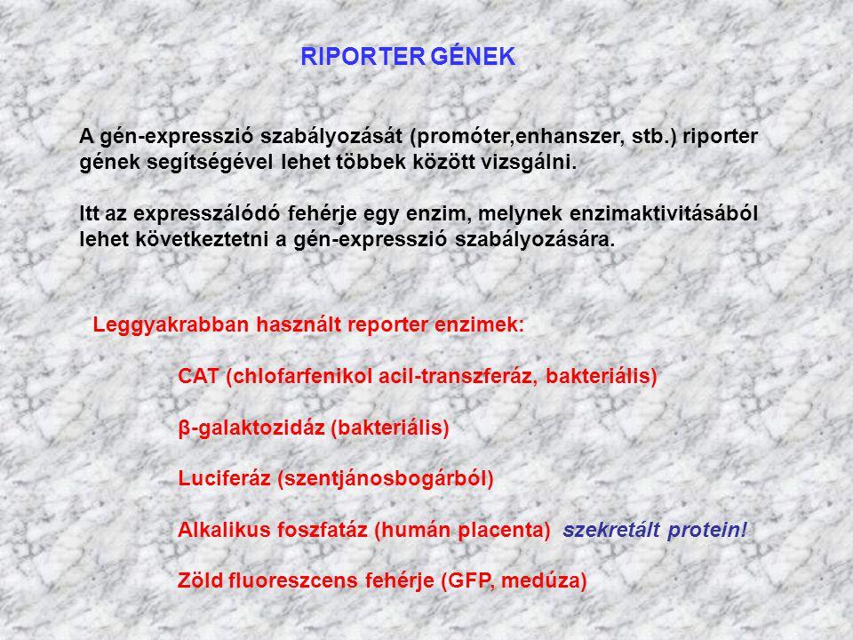 RIPORTER GÉNEK A gén-expresszió szabályozását (promóter,enhanszer, stb.) riporter. gének segítségével lehet többek között vizsgálni.