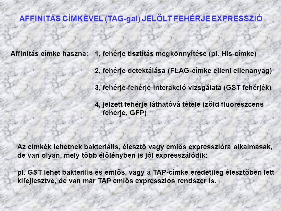 AFFINITÁS CÍMKÉVEL (TAG-gal) JELÖLT FEHÉRJE EXPRESSZIÓ