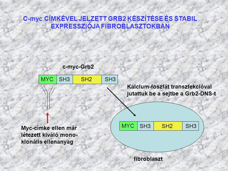 C-myc CÍMKÉVEL JELZETT GRB2 KÉSZÍTÉSE ÉS STABIL
