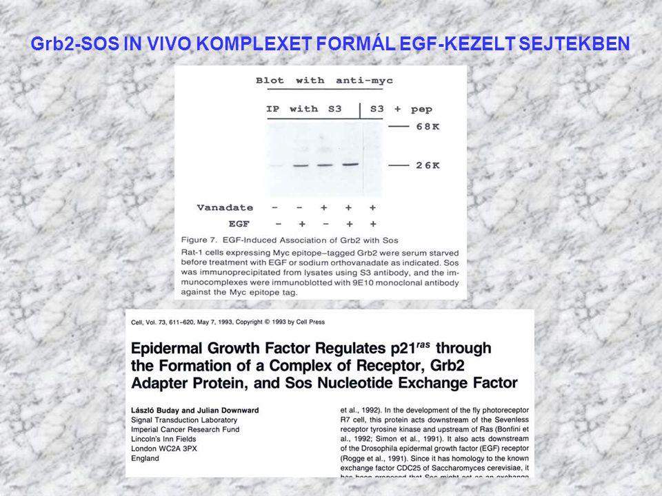 Grb2-SOS IN VIVO KOMPLEXET FORMÁL EGF-KEZELT SEJTEKBEN