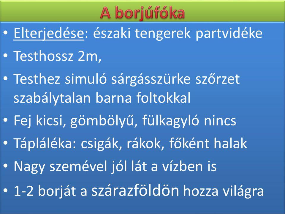 A borjúfóka Elterjedése: északi tengerek partvidéke Testhossz 2m,