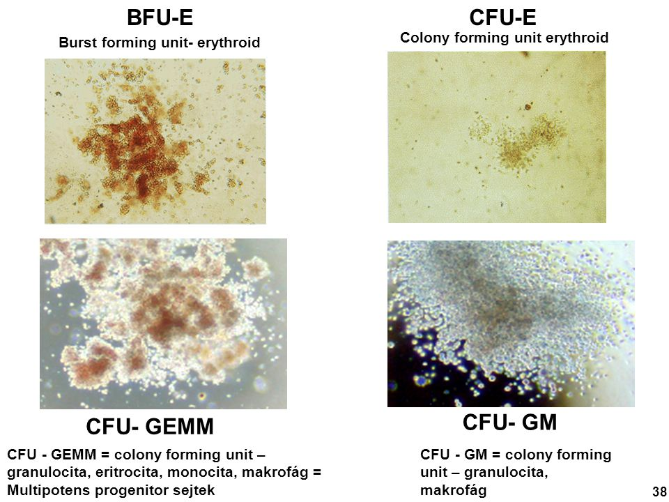 BFU-E CFU-E CFU- GEMM CFU- GM Colony forming unit erythroid