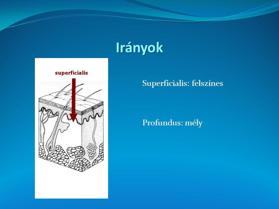 Irányok Superficialis: felszínes Profundus: mély